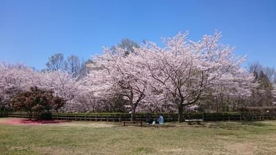 公園の桜2.jpg