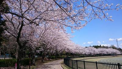 公園の桜3.jpg