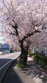 2歳のときの桜.jpg